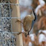 Kleiber an der Futterwabe, das Nest dieses Vogels fanden sie bei der Nistkastenkontrolle.