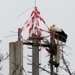 23.03.18 Die beiden wagen einen erneuten Nestbau.