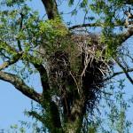 8) 06.05.18 Nest in der Weide leer
