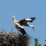 15) Partnerwechsel, Mama Storch fliegt weg.