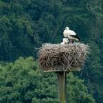 17) 02.06.18 Drei Jungstörche im Nest des Auenmastes