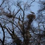 2a Das Nest auf dem Pappelstumpf im Wald