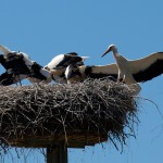 4. Mama Storch kommt angeflogen.