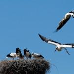 9. Hilfe kommt, Papa Storch fliegt an und vertreibt den Angreifer.