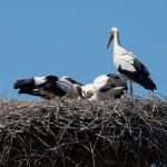 17. Die Reste werden im Nest aufgepickt.