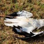 7) Wir finden Basti tot neben dem Storchenhorst liegen.
