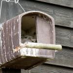 13 Vier junge Turmfalken im Brutkasten