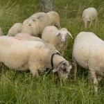 23 Schafe begegneten uns