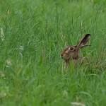 24 Hase im hohen Gras