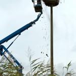 12) Stück für Stück wird Nestmaterial nach unten befördert.