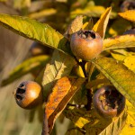 14 Golden glänzt die Mispel und trägt noch viele Früchte.