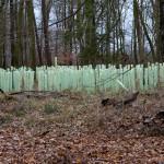 18. Eine Neuanpflanzung von Eichen