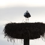 10.02.19 Ankunft Kilianstädter Storchenmännchen