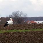 11.02.19 Kilianstädter Storch alleine unterwegs