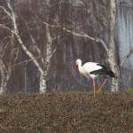 21.02.19 Der unberingte Storch auf Nahrungssuche