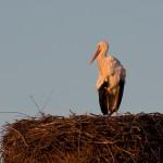 24.02.19 Unser Storchenmännchen on top, bestrahlt von der Morgensonne