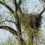 Das besetzte Nest in der Weide