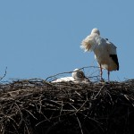 Kilianstädter Paar, das Männchen brütet gerade