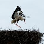 13) Nachdem beide kurz weg waren, fliegt das Männchen das Nest wieder an.