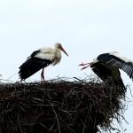 17) Das Weibchen fliegt wieder weg.
