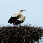 20) Beide wieder im Nest, der Störstorch war wieder aufgetaucht.