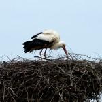 22) Dann kehrte Ruhe ein, Papa Storch kümmerte sich um den Nachwuchs.