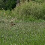 11) Gut getarnt sind die Rehe aktuell im hohen Gras