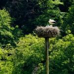 1) 3-facher Nachwuchs auf dem Windecker Mast in den Bornwiesen