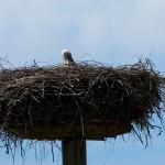 9) Kilianstädter Storchenhorst mit neuem Storchenweibchen