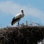 Wie vor, Warten auf Mama Storch