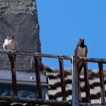 17 Links ein Junges, rechts ein Altvogel