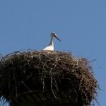 2 Das Storchenmännchen hütet den Nachwuchs, der geduckt im Nest liegt