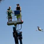 4 Papa Storch wird die Nähe des Hubsteigerkorbs zu viel und fliegt weg.