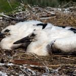 11 Der Nachwuchs im Nest