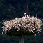 1 Die 4 Storchenkinder alleine im Nest.