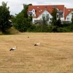20. Danach neue Szenen vor dem Büdesheimer Schloss mit nunmehr 20 Störchen