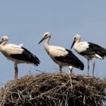2 Einem wird die Warterei wohl zu lange und er legt sich ins Nest.
