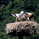 14 Mit lautem Geklapper begrüßt sie die beiden im Nest Verbliebenen.