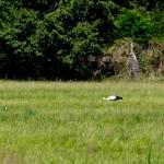 19 Das Storchenkind, das als zweites das Nest verließ, weiterhin auf Futtersuche.