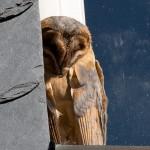 9. Adulte Tyto alba guttata auf Fensterbank beim Sonnenbaden
